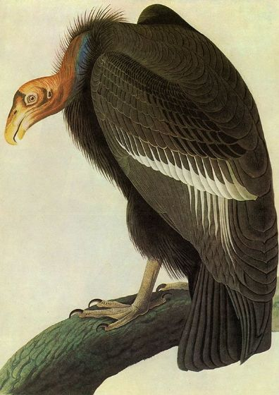Audubon, John James: California Condor. Ornithology Fine Art Print/Poster. Sizes: A4/A3/A2/A1 (001113)